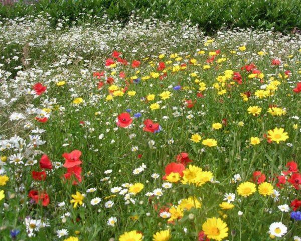 Мавританская газонная трава виды фото